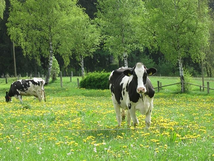 Der Hof Kilbe in Bad Berleburg ist ein aktiver landwirtschaftlicher Betrieb mit Milchviehhaltung